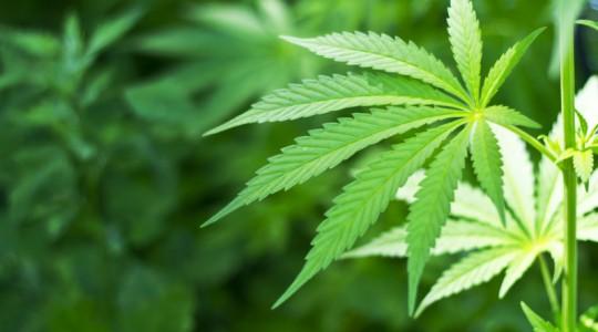 Efectul consumului de Marijuana asupra creierului